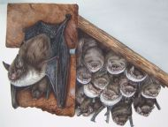 Daubenton's Bat - Scottish Bat Quiz